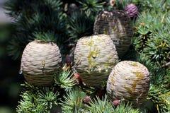 Cedro de los conos de Líbano Fotografía de archivo