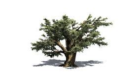 Cedro del árbol de Líbano ilustración del vector