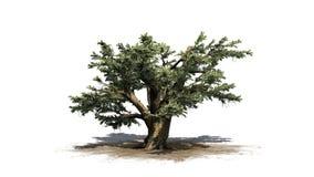 Cedro del árbol de Líbano stock de ilustración