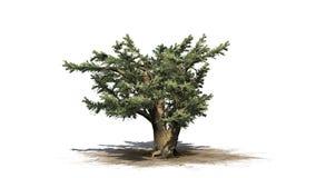 Cedro del árbol de Líbano libre illustration