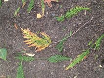 Cedro del color del otoño Foto de archivo