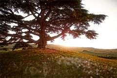Cedro del Libano Immagine Stock