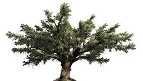 Cedro dell'albero di Libano royalty illustrazione gratis