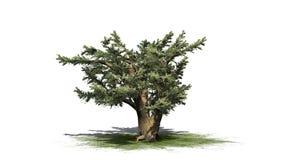 Cedro dell'albero di Libano illustrazione di stock