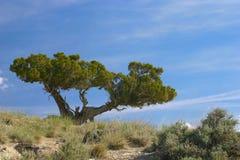 Cedro en la colina Imagen de archivo libre de regalías