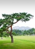 Cedro en valle contra árboles y montañas de pino Foto de archivo