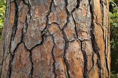 Cedro libanés Fondo de la corteza de árbol de cedro imagenes de archivo