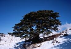 Cedro libanês Imagens de Stock