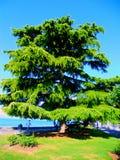 Cedro libanese Fotografie Stock