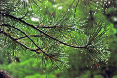 Cedro, orvalho, árvore, Rússia, Baikal, Altay, viagem imagem de stock royalty free