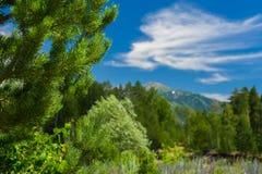 Cedro, ramas del abedul, bosque borroso, cielo azul y nubes blancas sobre una montaña en Sunny Summer Day Ivanovskiy Khrebet Ridg imagen de archivo