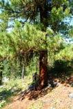 Cedro, rugiada, albero, Russia, Baikal, l'Altai, viaggio Immagini Stock