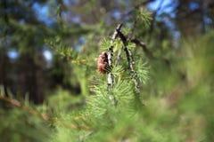 Cedro siberiano Fondo de los conos jovenes del pino Imagenes de archivo