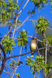 Cedro Waxwing, cedrorum de Bombycilla Fotografia de Stock