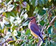 Cedro Waxwing em uma árvore de azevinho Fotografia de Stock