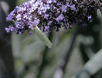 A cedronella butterfly Gonepteryx rhamni sucking the nectar of the flowers of a Buddleia Buddleja alternifolia. One cedronella butterfly Gonepteryx rhamni royalty free stock photo