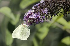 A cedronella butterfly Gonepteryx rhamni sucking the nectar of the flowers of a Buddleia Buddleja alternifolia. One cedronella butterfly Gonepteryx rhamni royalty free stock photos