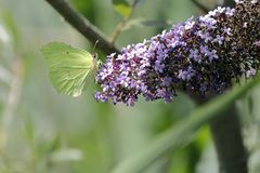 A cedronella butterfly Gonepteryx rhamni sucking the nectar of the flowers of a Buddleia Buddleja alternifolia. One cedronella butterfly Gonepteryx rhamni stock image