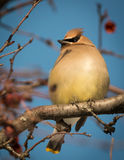 Cedrorum de Cedar Waxwing - de Bombycilla Photo libre de droits
