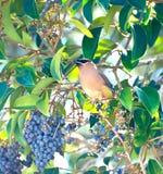 Cedrorum del cedro Waxwing - di Bombycilla - uccello Fotografie Stock Libere da Diritti