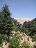Cedros de Líbano imagen de archivo libre de regalías