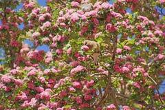 Cedrowa jemiołucha w kwitnąć drzewa (Bombycilla cedorum) Zdjęcia Stock