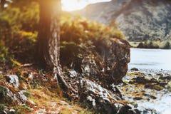 Cedrowego drzewa baza blisko Katun rzeki, Altay Obraz Royalty Free