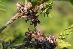 Cedrowego drzewa ` kwitnie ` Fotografia Stock