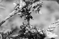 Cedrowego drzewa ` kwitnie ` Czarny I Biały Zdjęcia Royalty Free