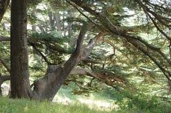 Cedrowi drzewa zdjęcie royalty free