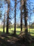 Cedrowi drzewa w Griffith parku, Los Angeles Fotografia Royalty Free