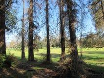 Cedrowi drzewa w Griffith parku, Los Angeles Zdjęcie Royalty Free