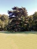 Cedrowy drzewo Zdjęcia Royalty Free