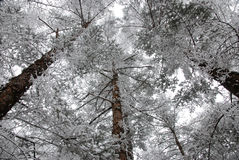 Cedrowy las zdjęcia royalty free