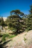 Cedrowy las Bcharri zdjęcie stock