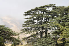 Cedrowy las Liban Obrazy Stock
