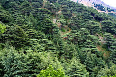 Cedrowy las w Liban Obrazy Stock