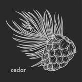 Cedru rożek z igielna ręka rysującym liścia nakreśleniem ilustracji