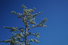 Cedrus atlantica Royalty Free Stock Photography