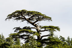 Cedrus. Cedar forest in High Atlas, central Morocco Royalty Free Stock Image