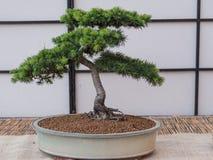 Cedrus Libani da árvore dos bonsais do cedro foto de stock royalty free