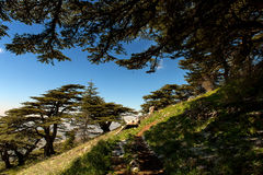 Cedrus Libanis in Shouf Mountains. The Shouf Biosphere Reserve is home to some of the largest cedrus libanis stands in Lebanon. Majestic trees, that grow as old Royalty Free Stock Images