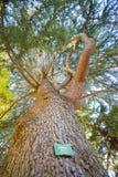 Cedrusen lokaliserar i botaniska trädgården, Christchurch, Nya Zeeland Royaltyfri Fotografi