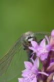 Cedzakowy Dragonfly Fotografia Stock