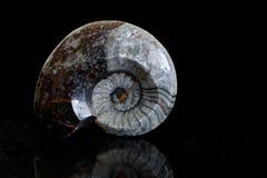 Cefalópodo fósil petrificado en piedra caliza imagenes de archivo
