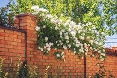 Cegły ogrodzenie z białymi kwiatami Dekoracyjny biel róży krzak w lato ogródzie fotografia royalty free