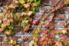 cegły tła winorośli Fotografia Stock