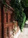 ceglanego bluszcza stara kamienna ściana Fotografia Stock