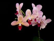 Ceglanej czerwieni orchidea obrazy stock