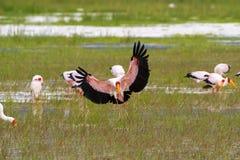 Cegonha africana vadear, cegonha de madeira faturada amarela da cegonha, aterrissagem dos íbis de madeira no lago Manyara, Tanzân fotos de stock